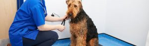Airdale Terrier at the vets