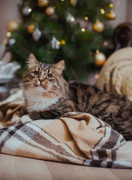 Christmas City Vet.Christmas Cat On Blanket Medway City Veterinary Centre